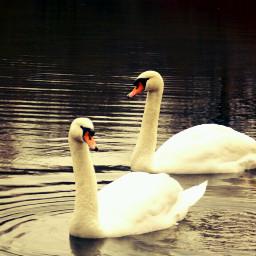 swan swansea petsandanimals photography spring