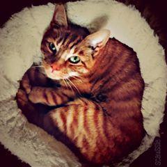 ginger cat hd greeneyes dodger