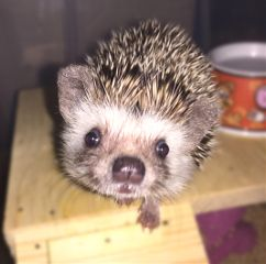 animals animal hedgehogs hedgehog riccio